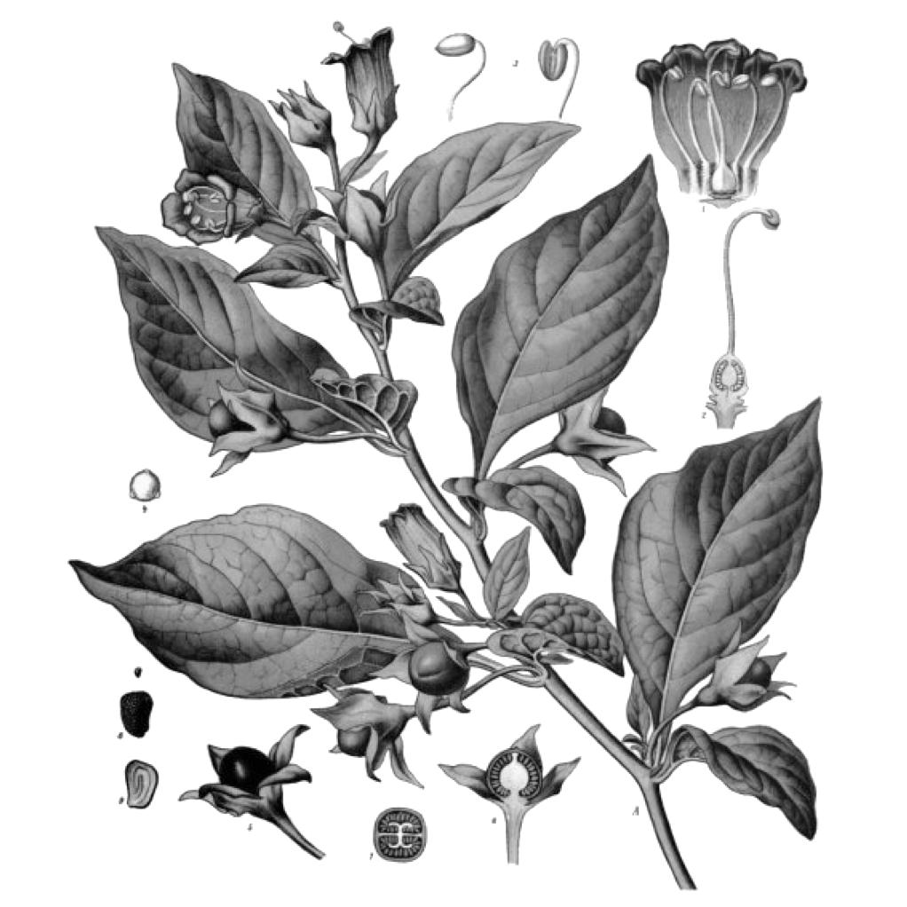 belladonna atropica