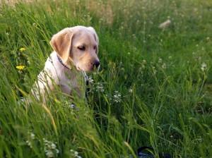 Auch Hunde können unter Heuschnupfen leiden