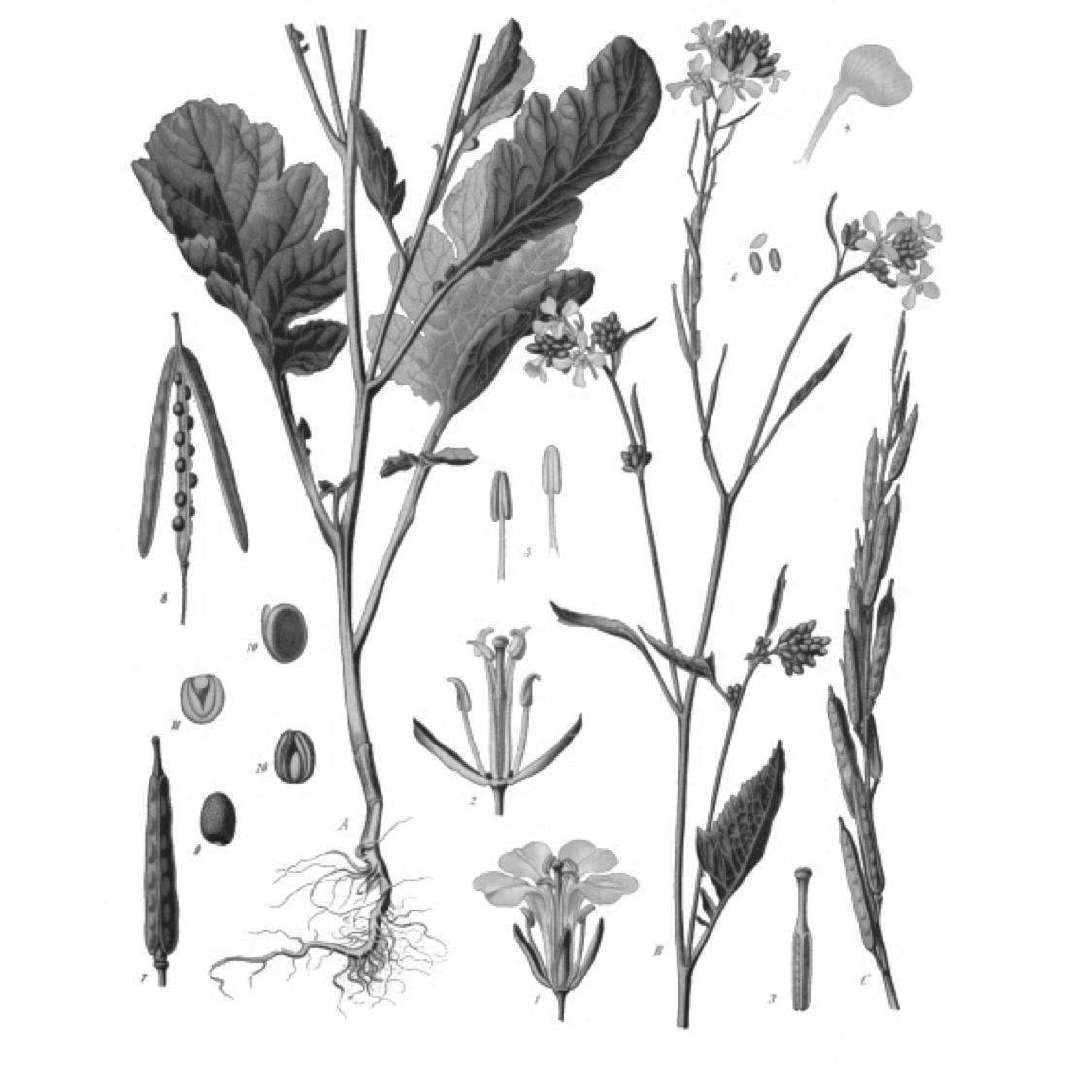 sinapis nigra